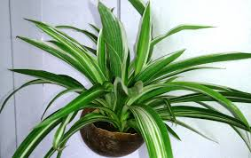 spider plant how to care for the chlorophytum youtube