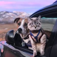 Colorado Traveling With Cats images Henry and baloo dog and cat travel companions gain cult following jpg