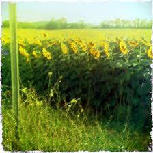 salina ks sunflower field by kansas state university sunflower field off route 15 in northern new jersey near sparta