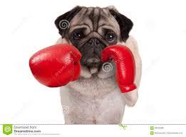 pug x boxer dog pug dog boxer punching with red leather boxing gloves stock photo