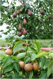 pear tree if you a bradford pear in your landscape the