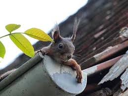 Squirrel In Basement by What Damage Can Clogged Gutters Cause Cincinnati Oh United