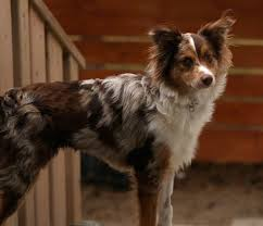 is an australian shepherd smart miniature australian shepherd dog breed information and pictures