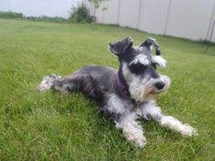 schnauzers hair cuts how ralf the schnauzer helps ailing toddlers to walk again giant