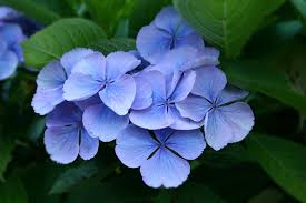 hydrangea flowers folklore of common garden flowers bluebells daffodils hydrangeas