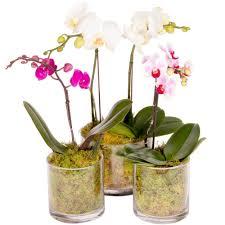 orchid plant small orchid plant includes glass pot melbourne flowers online
