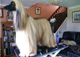 afghan hound good and bad grooming the breed the afghan hound association