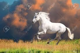 white mustang horse white andalusian horse pura raza espanola runs gallop in summer