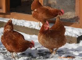 backyard chickens city boy hens