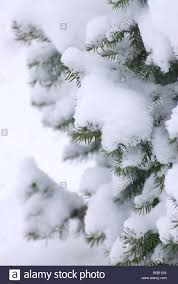 fur tree branches the white fluffy snow stock photo royalty