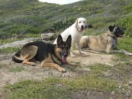 australian shepherd off leash balanced obedience dog and puppy training on oahu hawaii videos