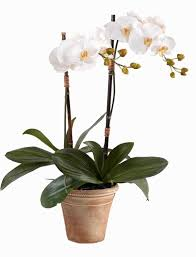 orchid plant phalaenopsis orchid plant weekly flowers ottawa flower delivery
