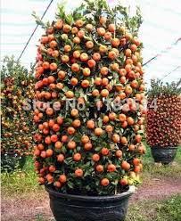 457 best bonsai fruit images on bonsai fruit and