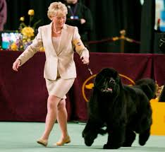 affenpinscher won westminster past winners and competitors at the westminster dog show