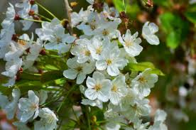 tree with white flowers free images nature food produce botany garden flora