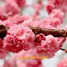 20seeds pack amazing pink cherry tree japanese cherry