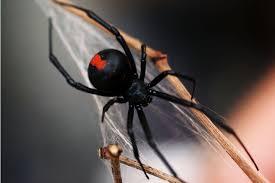 five of the world u0027s deadliest spiders photos