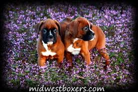 boxer dog price boxer puppies and dogs for sale in usa