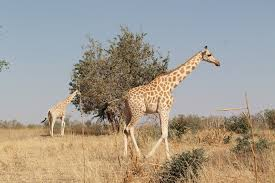koure and the last wild giraffes in west africa 1 day visit niamey
