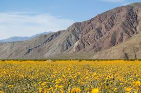 anza borrego super bloom superbloom in anza borrego desert state park southern california