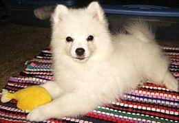 north american eskimo dog association american eskimo dog for sale local puppy breeders with american