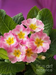 Pink Primrose Flower - 390 best down primrose lane images on pinterest flowers