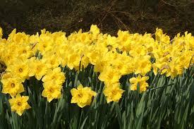 daffodils dutch master daffodils by dutchgrown