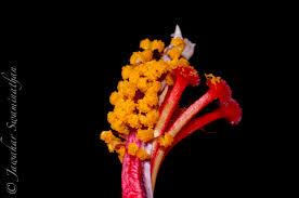 Which State Has A Hibiscus anatomy of a hibiscus u2013 part 2 extreme macro u2013 juridicious