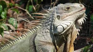 Florida Wildlife images Florida wildlife officials are killing invasive iguanas by jpg