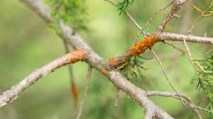Common Plant Diseases - common plant diseases in the landscape and garden cedar quince