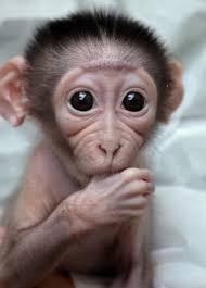 Baby Monkey Meme - soo cute 3 fashion pinterest monkey animal and creatures