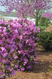 Heat Resistant Plants Abbey U0027s Re View Rhododendron Monrovia Abbey U0027s Re View