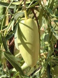 australis plants australian native plants bush banana marsdenia australis from central australia flickr