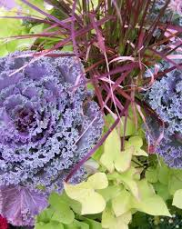 24 best ornamental cabbage kale for the garden images on