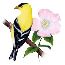 Flower And Bird - iowa state bird and flower goldfinch homeschool m m co op