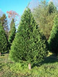 trees bluebird christmas tree farm