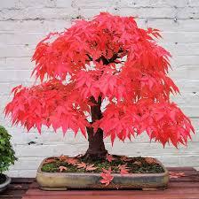 10 of the most beautiful bonsai trees