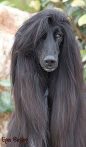 afghan hound giving birth 14 best images about cuties on pinterest cats poodles and eyes