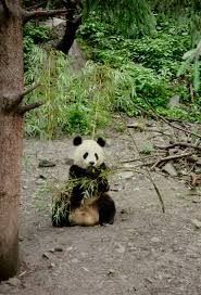 nature reserves aren u0027t protecting pandas research shows center