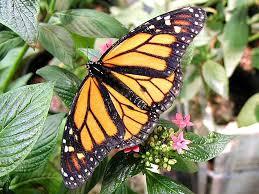file butterfly butterflies flowers leaves jpg wikimedia commons