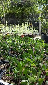 native plants for sale native plants las pilitas nurseries