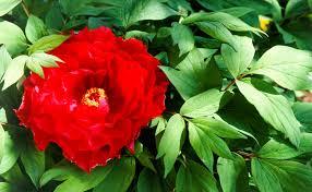 Peony Flower Peonies Burke U0027s Backyard