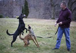belgian malinois in ohio crime fighting runs in the family for utica officers police dogs