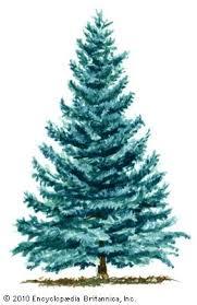 spruce plant britannica
