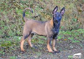 belgian shepherd uk belgian malinois and dutch shepherd puppies u0026 dogs extremus