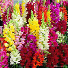 snapdragon flowers 2018 mixed color snapdragon antirrhinum flower seeds easy to grow