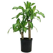 dracaena indoor plants garden plants u0026 flowers the home depot