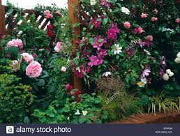 trellis roses roses and clematis growing over a trellis fence stock photo