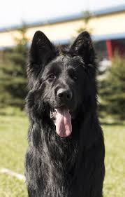 belgian sheepdog groenendael rescue famous laukine vilkauoge