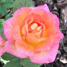 mardi gras roses mardi gras floribunda at jackson and perkins roses